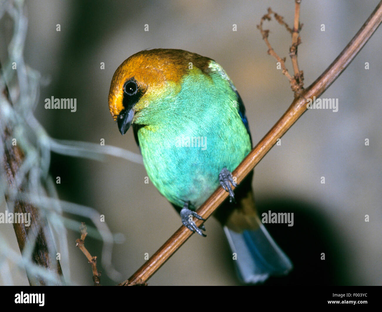 bay-headed tanager (Tangara gyrola), female - Stock Image