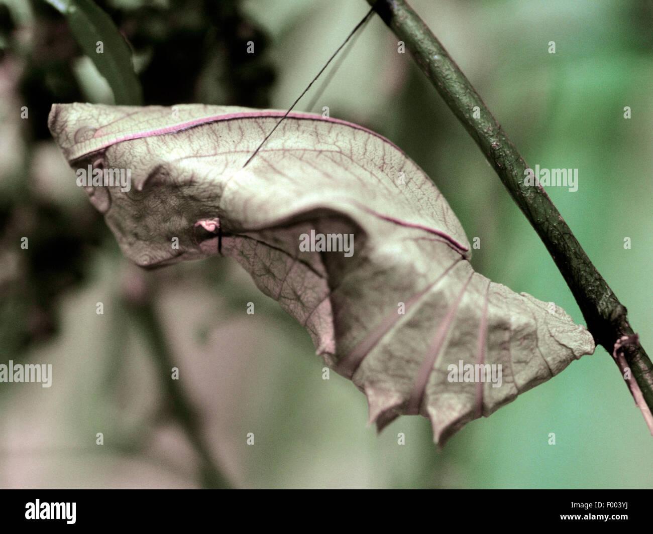 Common Birdwing (Troides helena), pupa - Stock Image