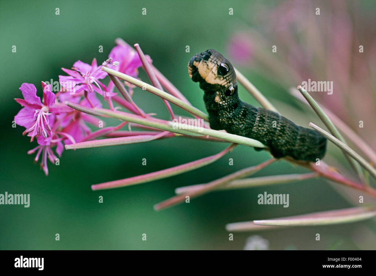 elephant hawkmoth (Deilephila elpenor), caterpillar on willowherb, Germany - Stock Image