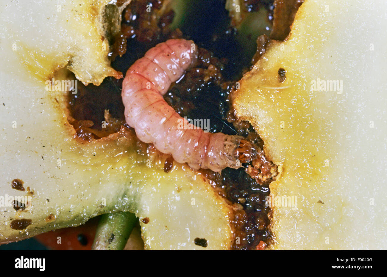 Apple moth, Codling moth, Codlin moth (Laspeyresia pomonella, Cydia pomonella, Carpocapsa pomonella), larva in an Stock Photo