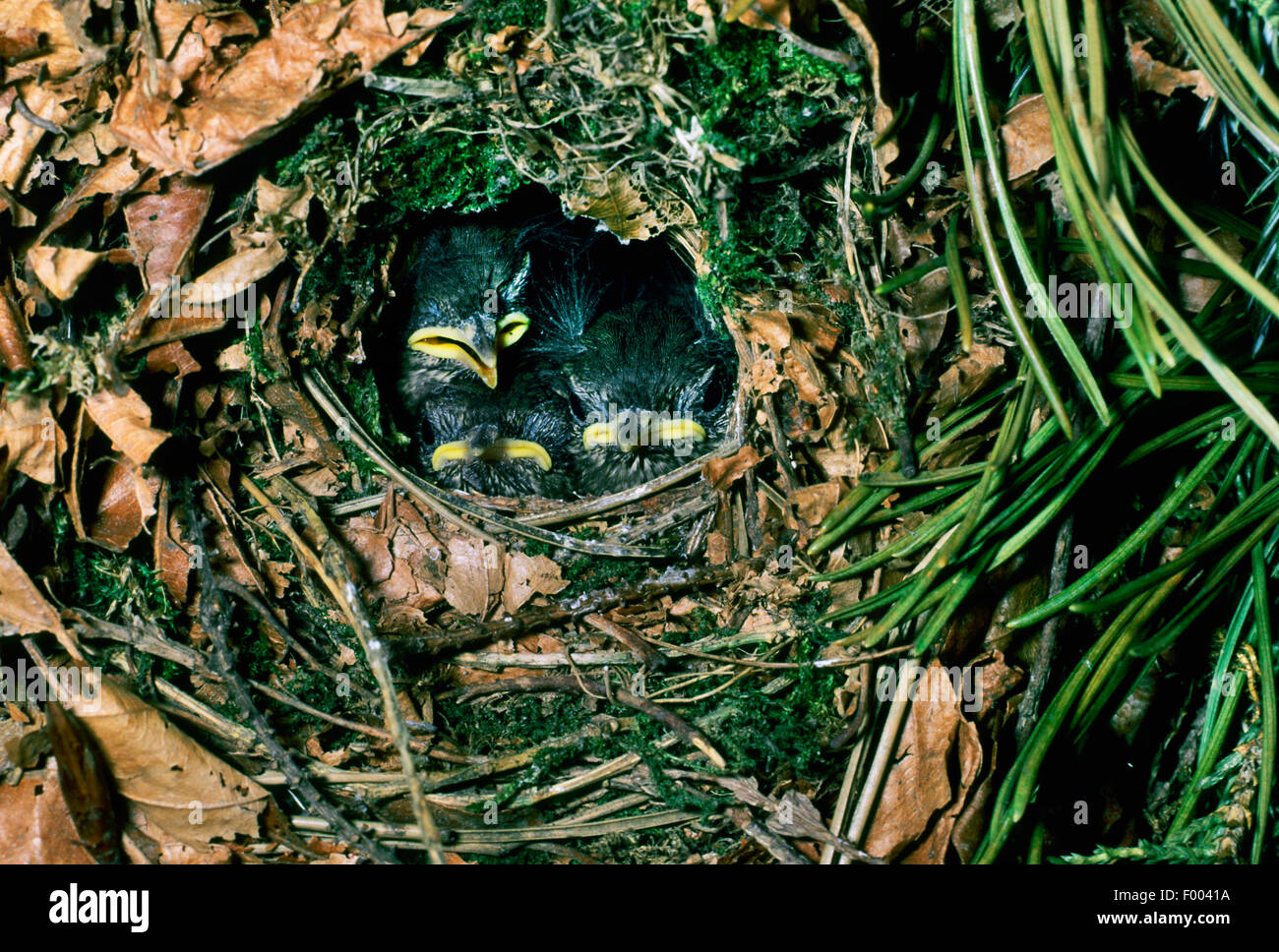 winter wren (Troglodytes troglodytes), squabs in the nest, Germany - Stock Image