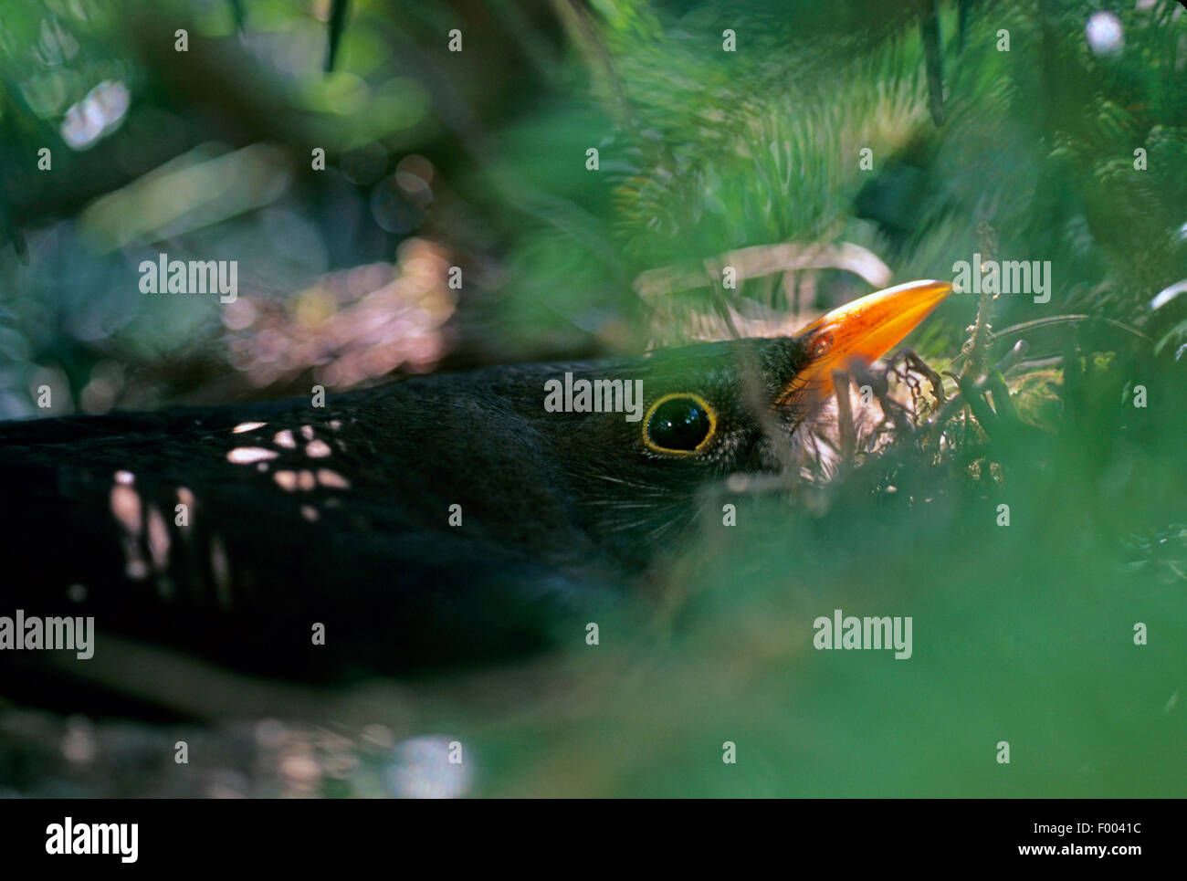 blackbird (Turdus merula), breeding male, Germany - Stock Image
