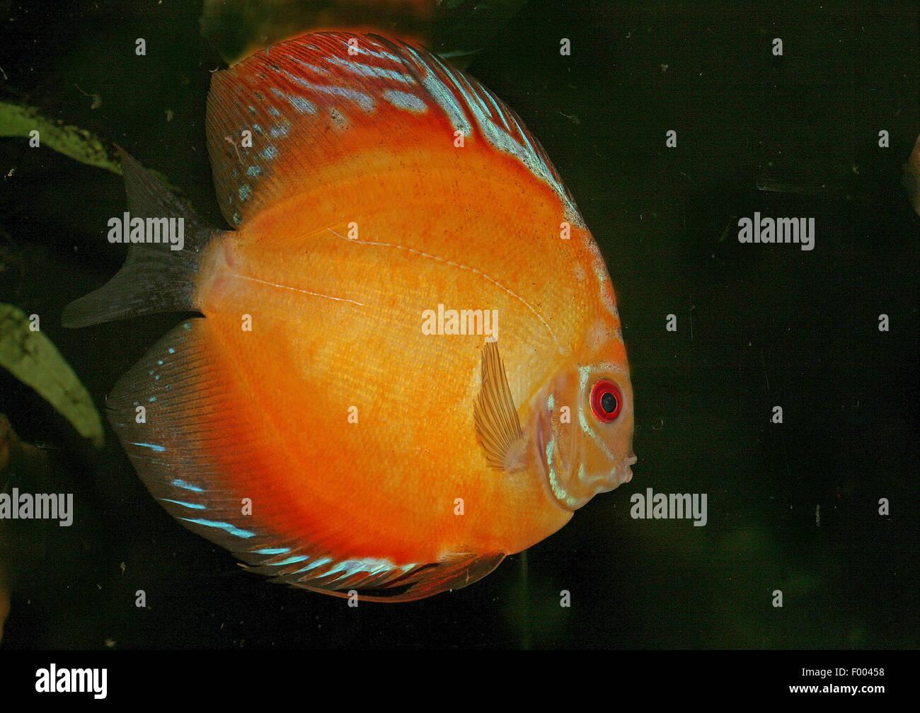 Blue discus (Symphysodon aequifasciatus), swimming - Stock Image