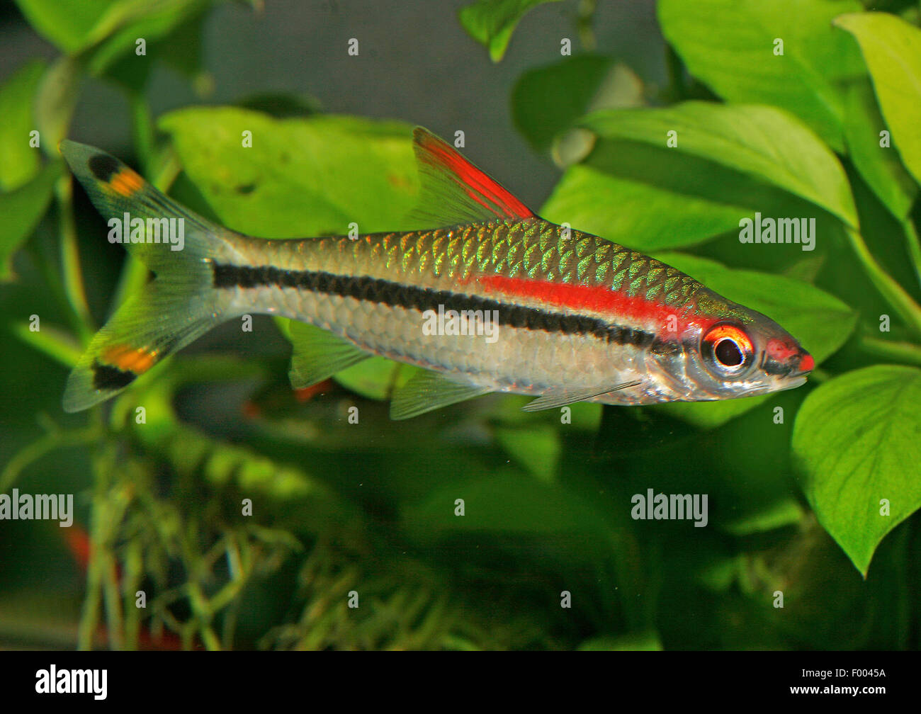 Red lined torpedo barb (Puntius denisonii), swimming - Stock Image