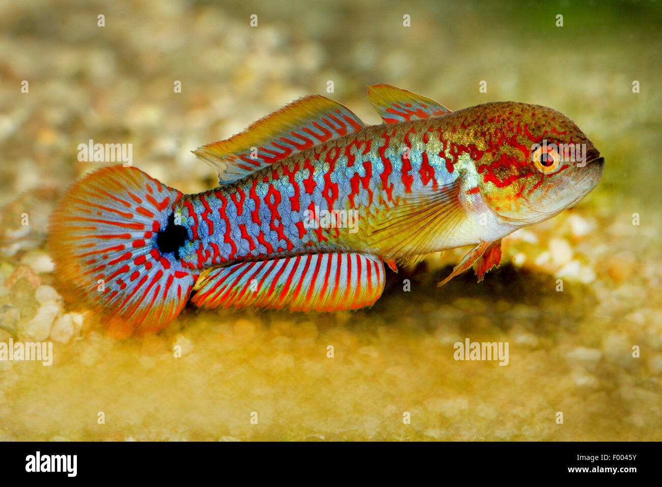 Eye-spot sleeper, Peacock gudgeon, Peacock goby (Tateurndina ocellicauda), at the bottom - Stock Image