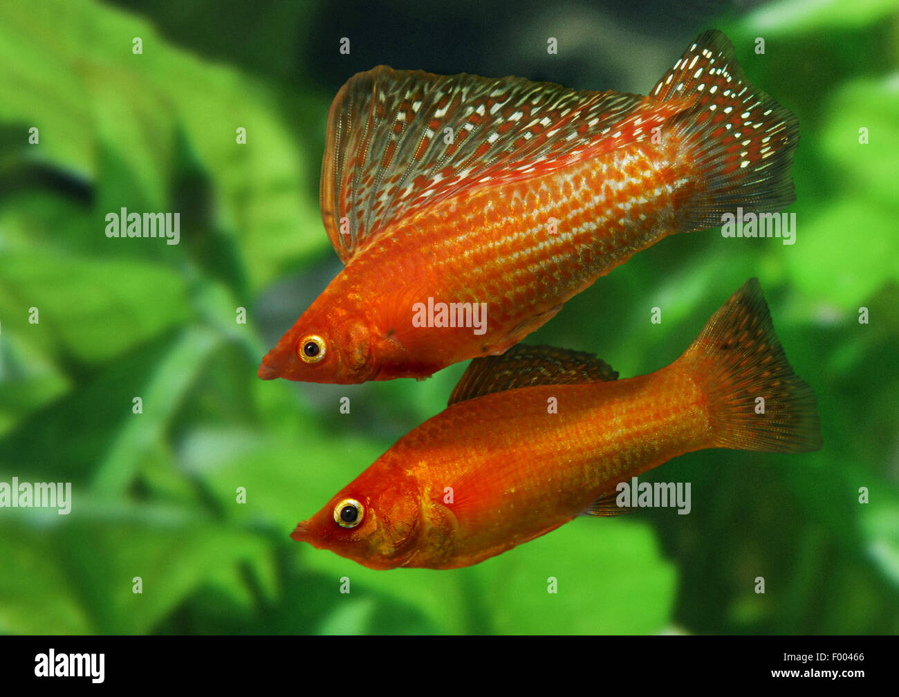 Giant sailfin molly, Sail-fin molly, Red sailfin molly, Yucatan Molly (Poecilia velifera), couple - Stock Image