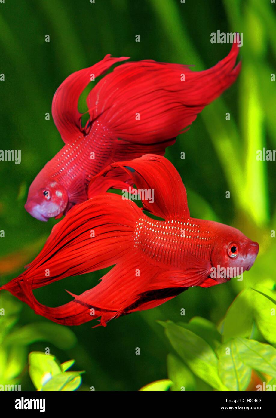 Siamese fighting fish, Siamese fighter (Betta splendens), two Siamese fighting fishes - Stock Image
