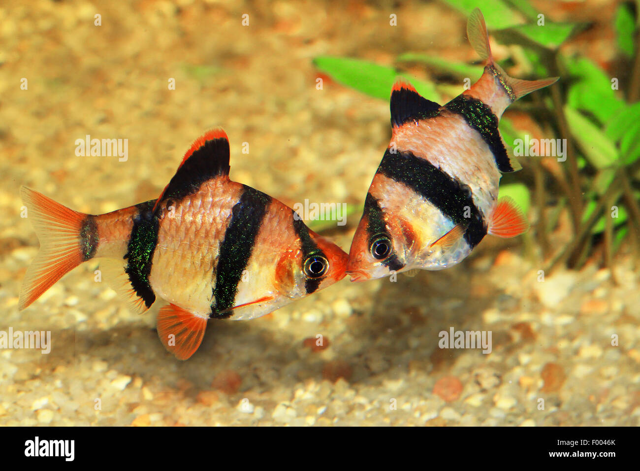 Sumatra barb, tiger barb (Puntius tetrazona, Barbus tetrazona), two Sumatra barbs Stock Photo