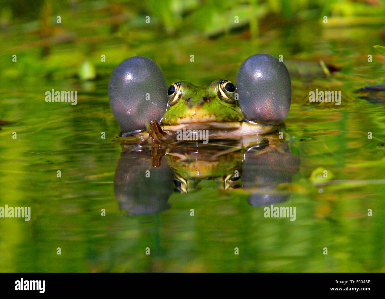 European edible frog, common edible frog (Rana kl. esculenta, Rana esculenta, Pelophylax esculentus), with vocal - Stock Image