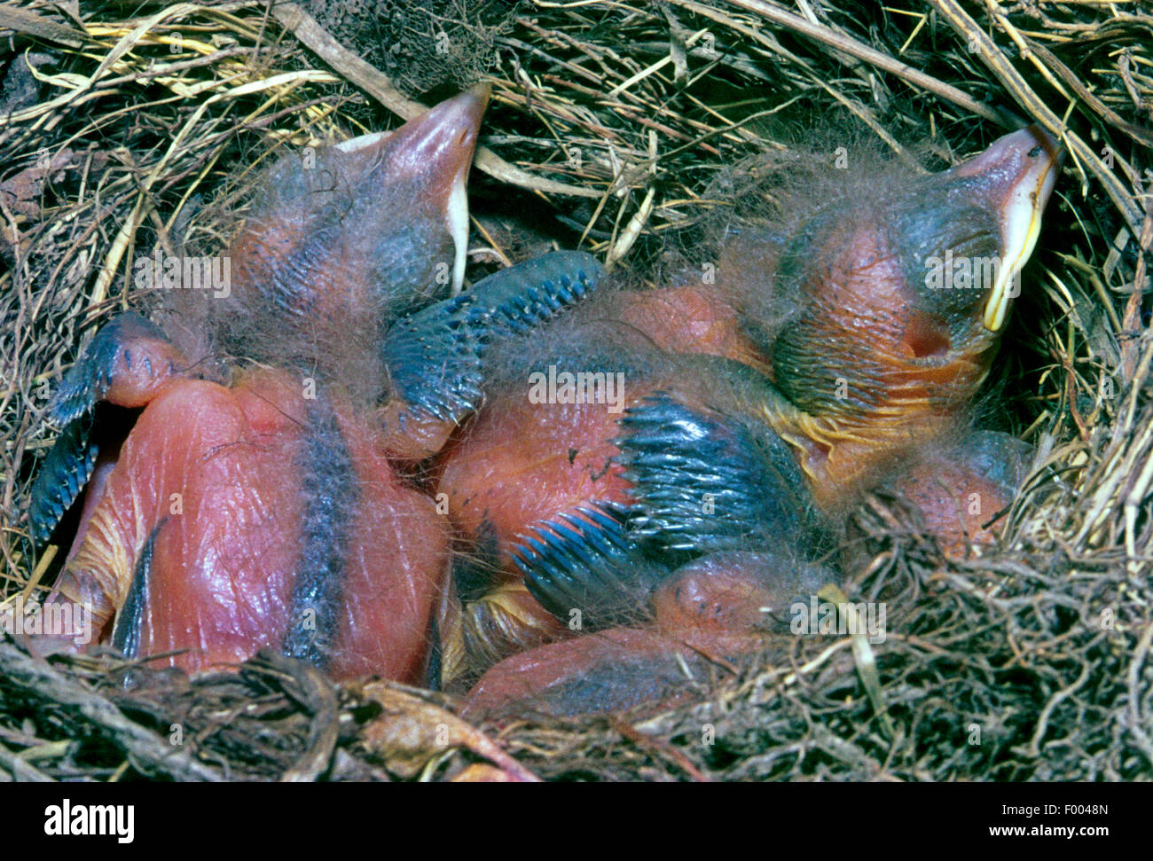 blackbird (Turdus merula), blackbird squabs in the nest, Germany - Stock Image