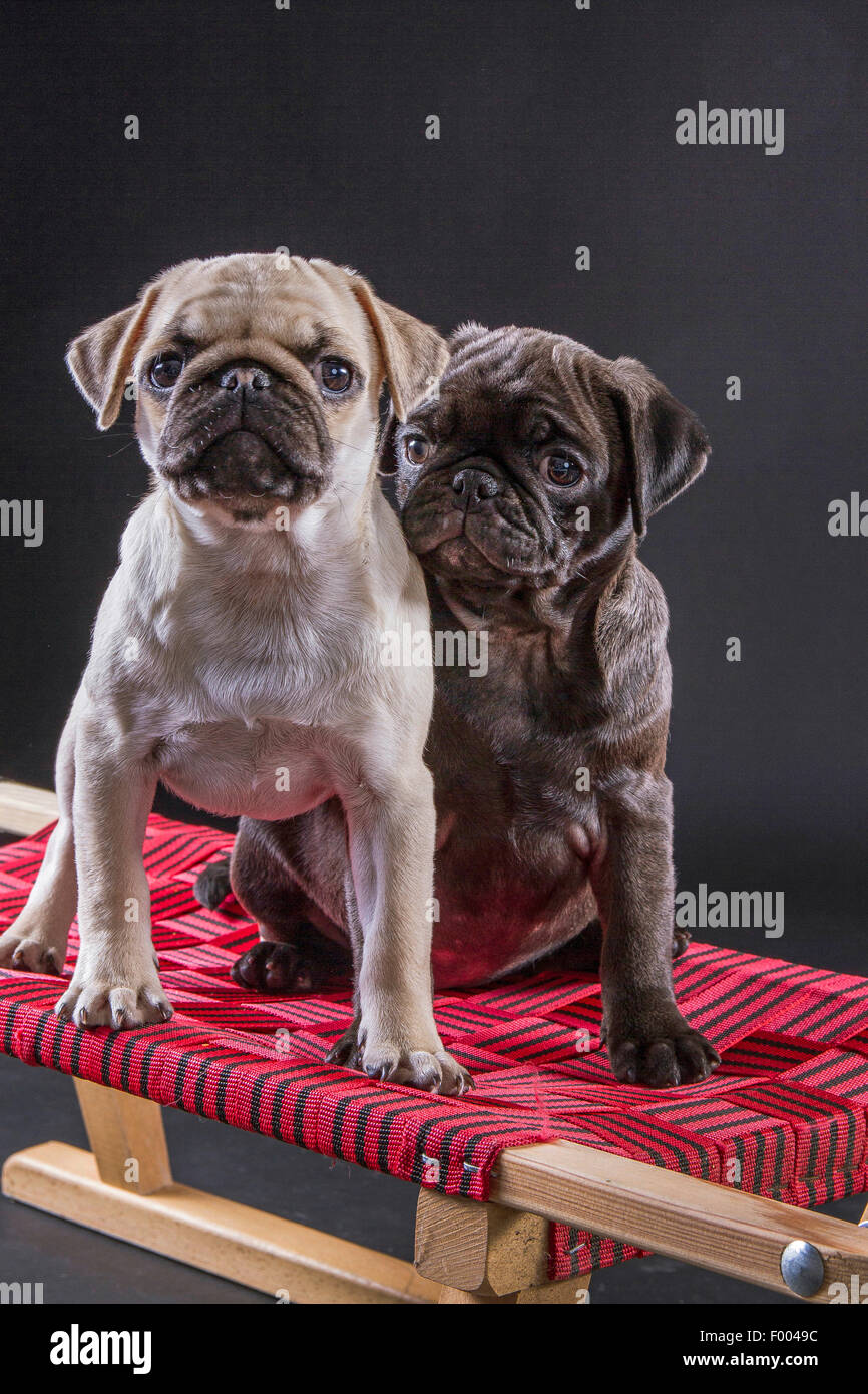 Pug (Canis lupus f. familiaris), two cute pug puppies together on a toboggan Stock Photo