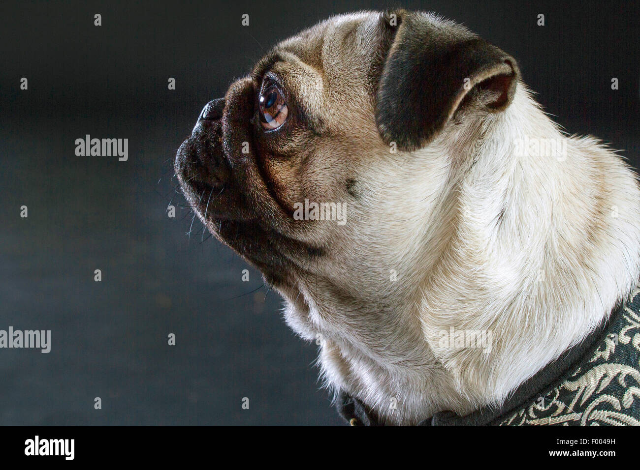 Pug (Canis lupus f. familiaris), portrait in front of black background, side view - Stock Image