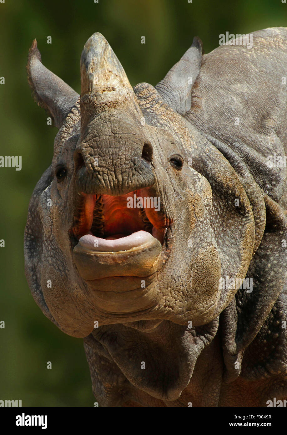 Greater Indian rhinoceros, Great Indian One-horned rhinoceros (Rhinoceros unicornis), portrait with mouth open, - Stock Image