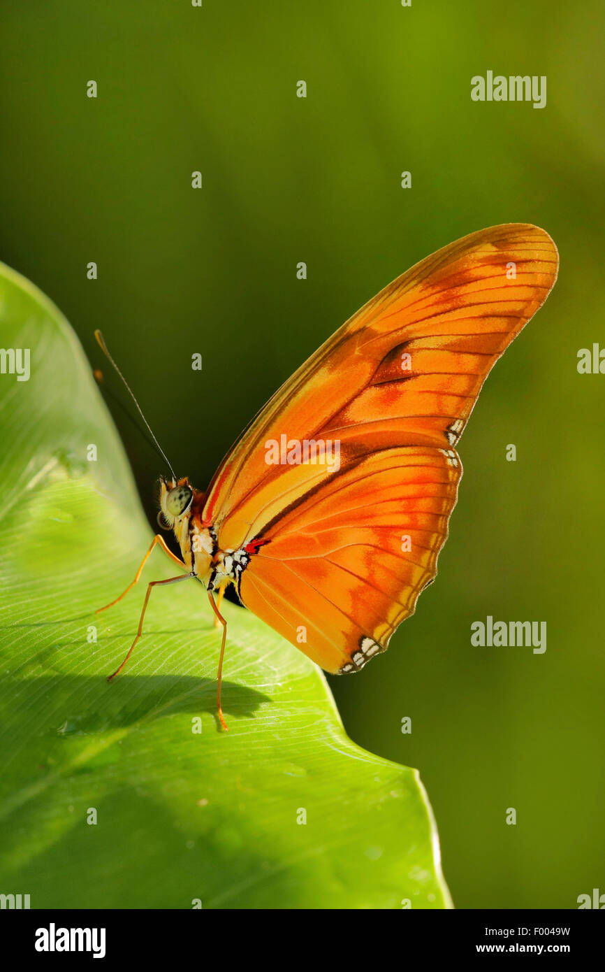 Julia heliconian (Dryas iulia, Dryas julia), on a leaf - Stock Image