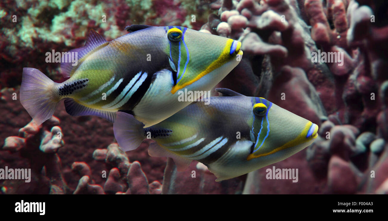 Picasso Fish Humuhumu Blackbar Triggerfish Rhinecanthus Aculeatus Two Fishes In Front Of Corals