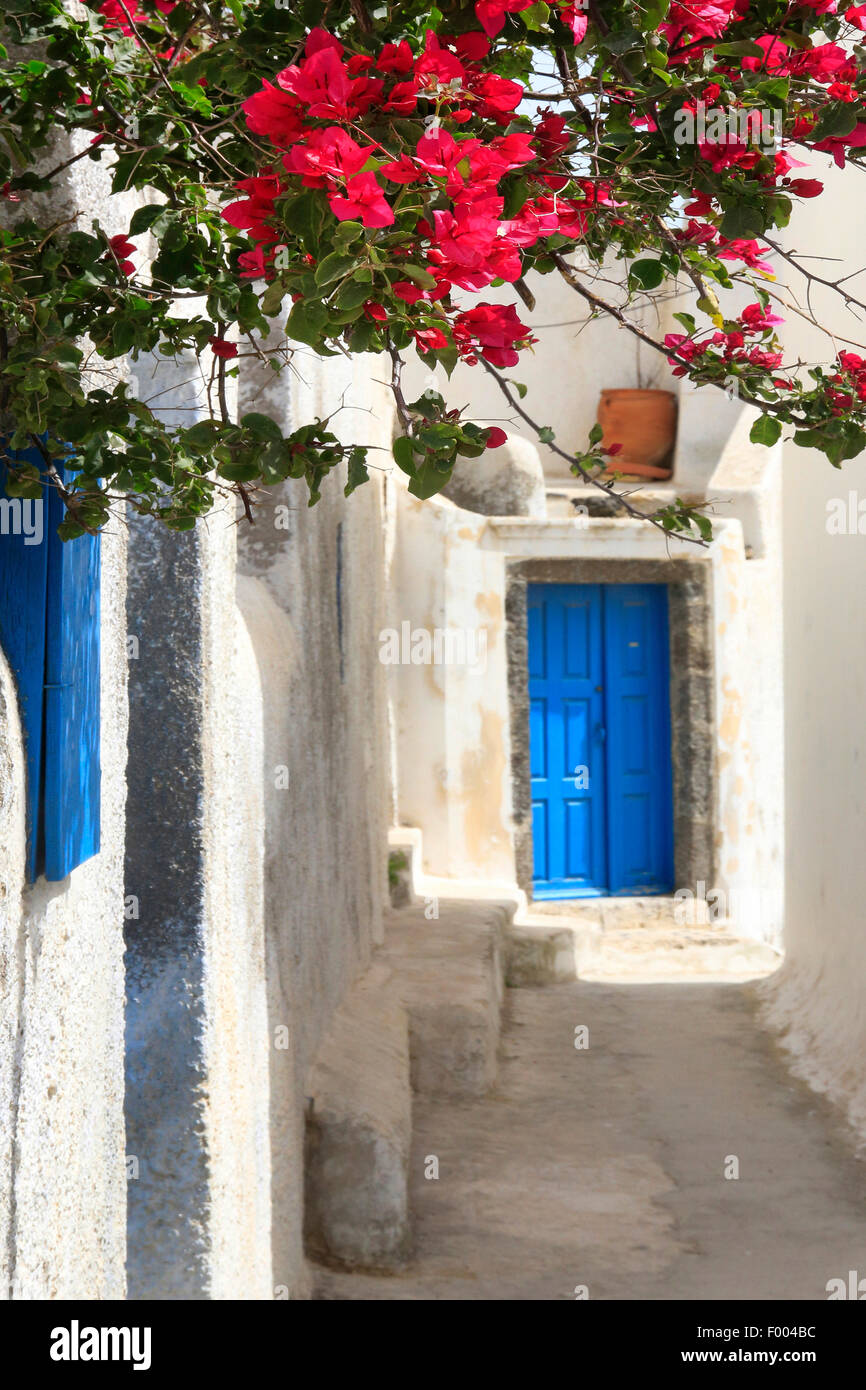 paper plant, four-o'clock (Bougainvillea spec.), white wall with Bougainvillea, blue front door, Greece, Cyclades, - Stock Image