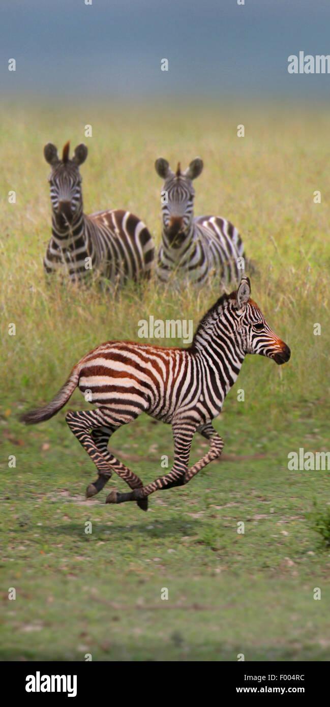Common Zebra (Equus quagga), two zebras watching running juvenile, Africa - Stock Image