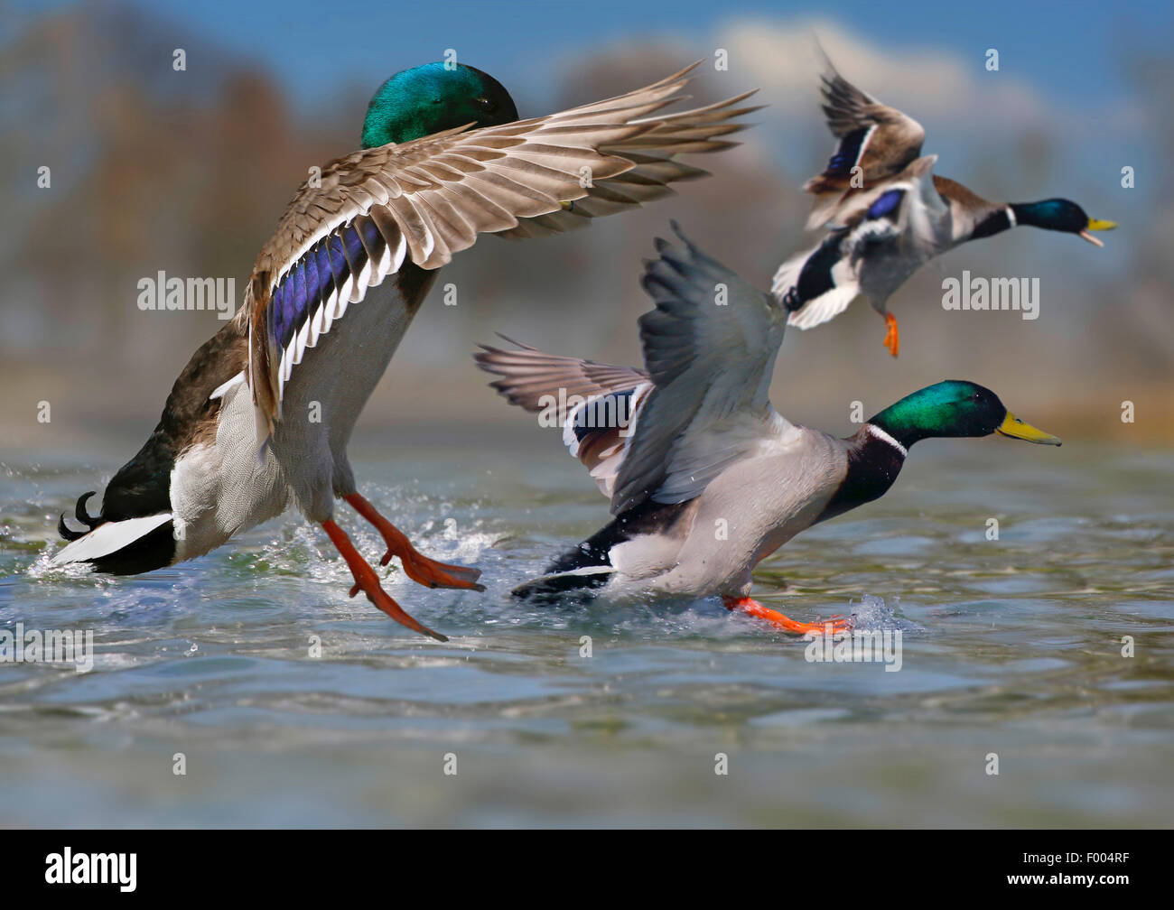 mallard (Anas platyrhynchos), group of drakes land on watersurface, Germany - Stock Image