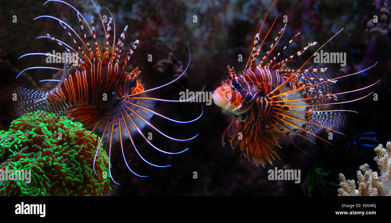 radial firefish, longhorn firefish, clearfin turkeyfish (Pterois radiata), two rivals - Stock Image