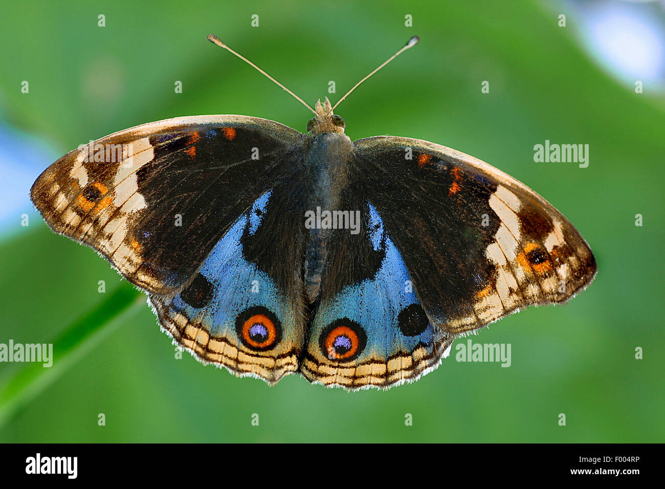 Precis (Precis orythya), on a leaf - Stock Image