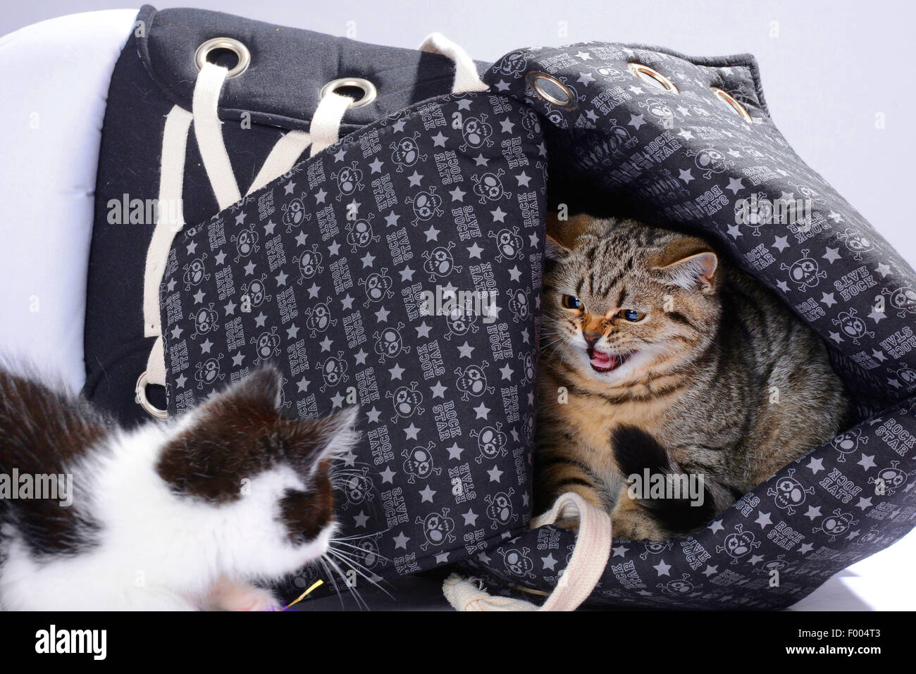 British Shorthair (Felis silvestris f. catus), two little kittens snarling at each other - Stock Image