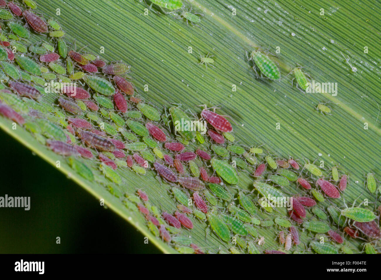 damson-hop aphid, hop aphid (Hyalopterus pruni), colony on a reed leaf, Germany, Bavaria, Isental - Stock Image