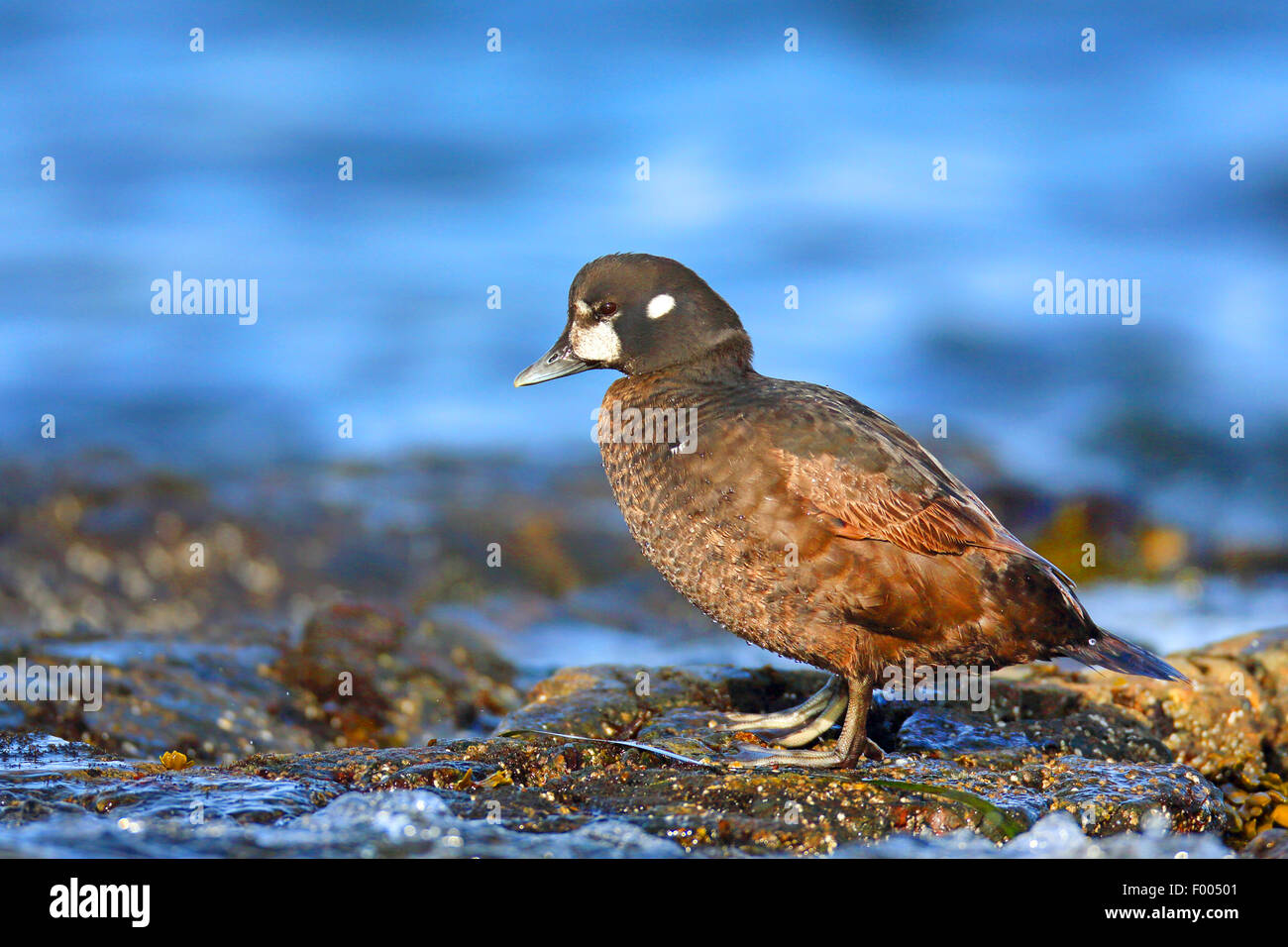 harlequin duck (Histrionicus histrionicus), female stands on a rock at the sea, Canada, Vancouver Island, Victoria - Stock Image