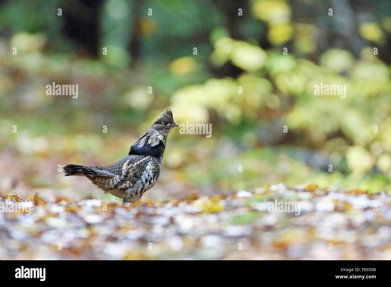 Ruffed grouse (Bonasa umbellus), male stands on the ground, Canada, Ontario, Algonquin Provincial Park - Stock Image