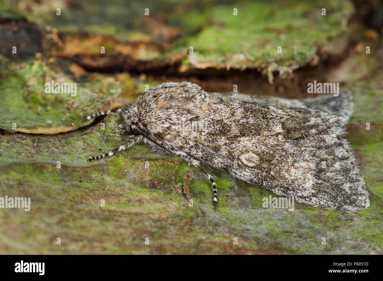 Poplar grey (Acronicta megacephala, Apatele megacephala), on bark, Germany - Stock Image