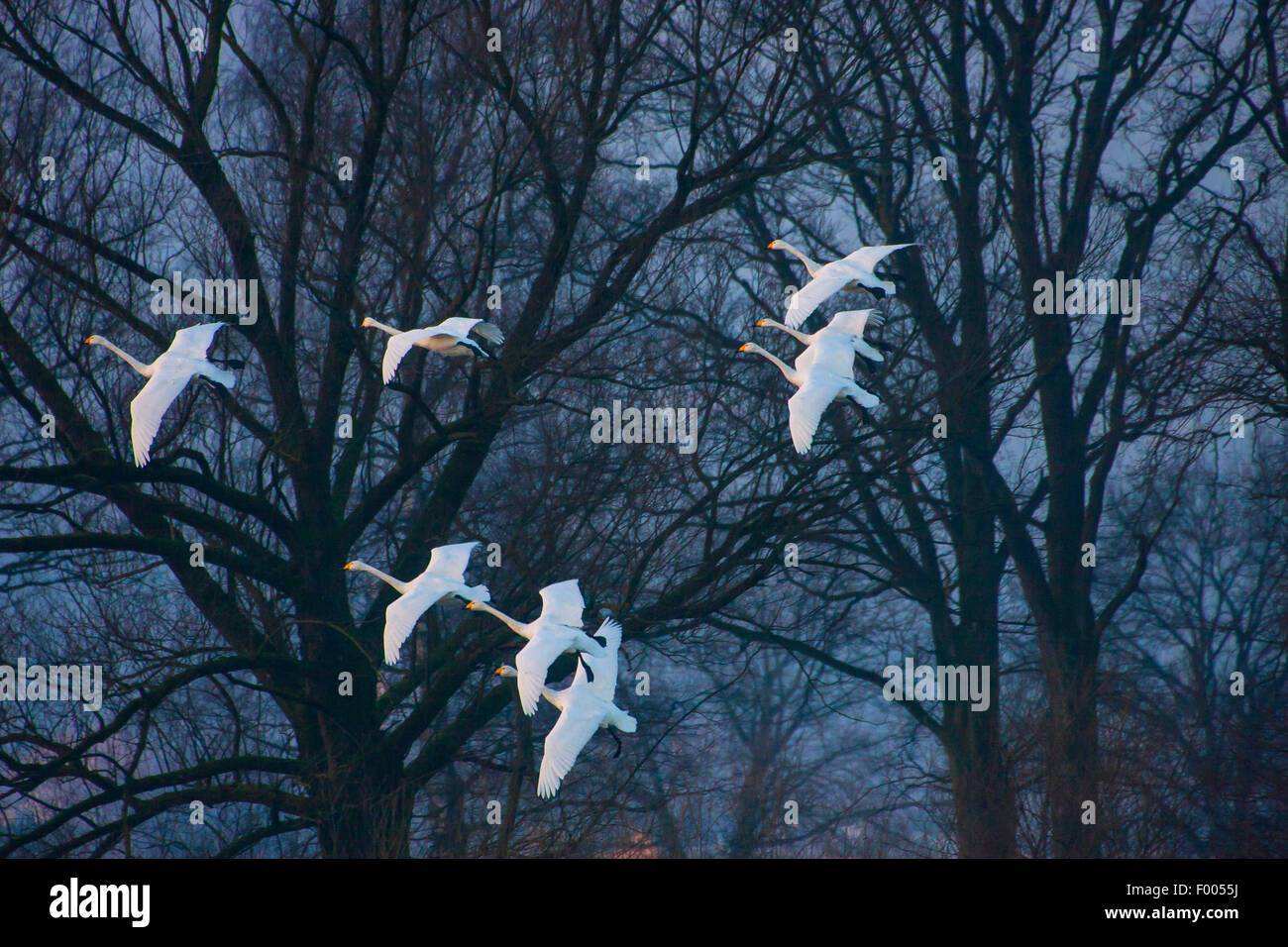 whooper swan (Cygnus cygnus), eight whooper swans on the approach before a grove, Switzerland, Sankt Gallen - Stock Image