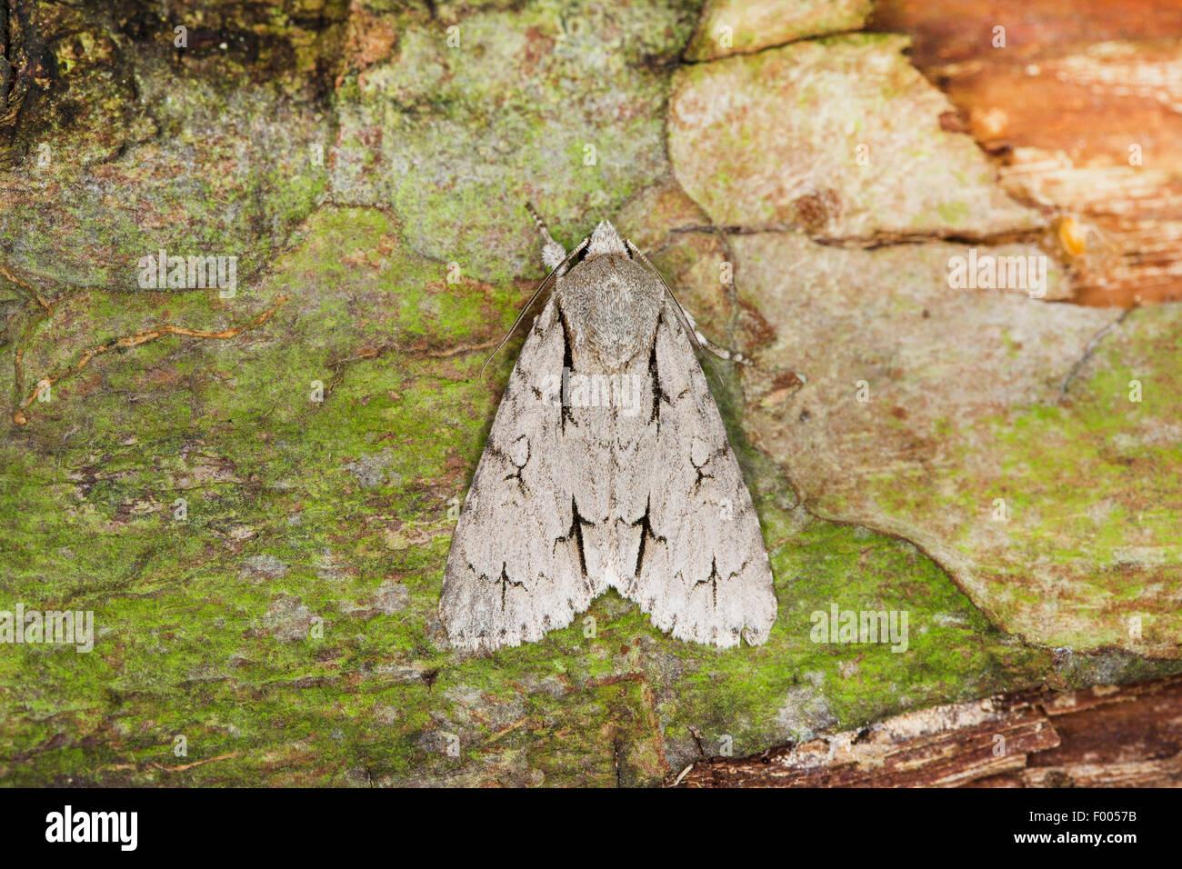 Grey dagger, Grey dagger moth (Acronicta psi), on bark, Germany - Stock Image