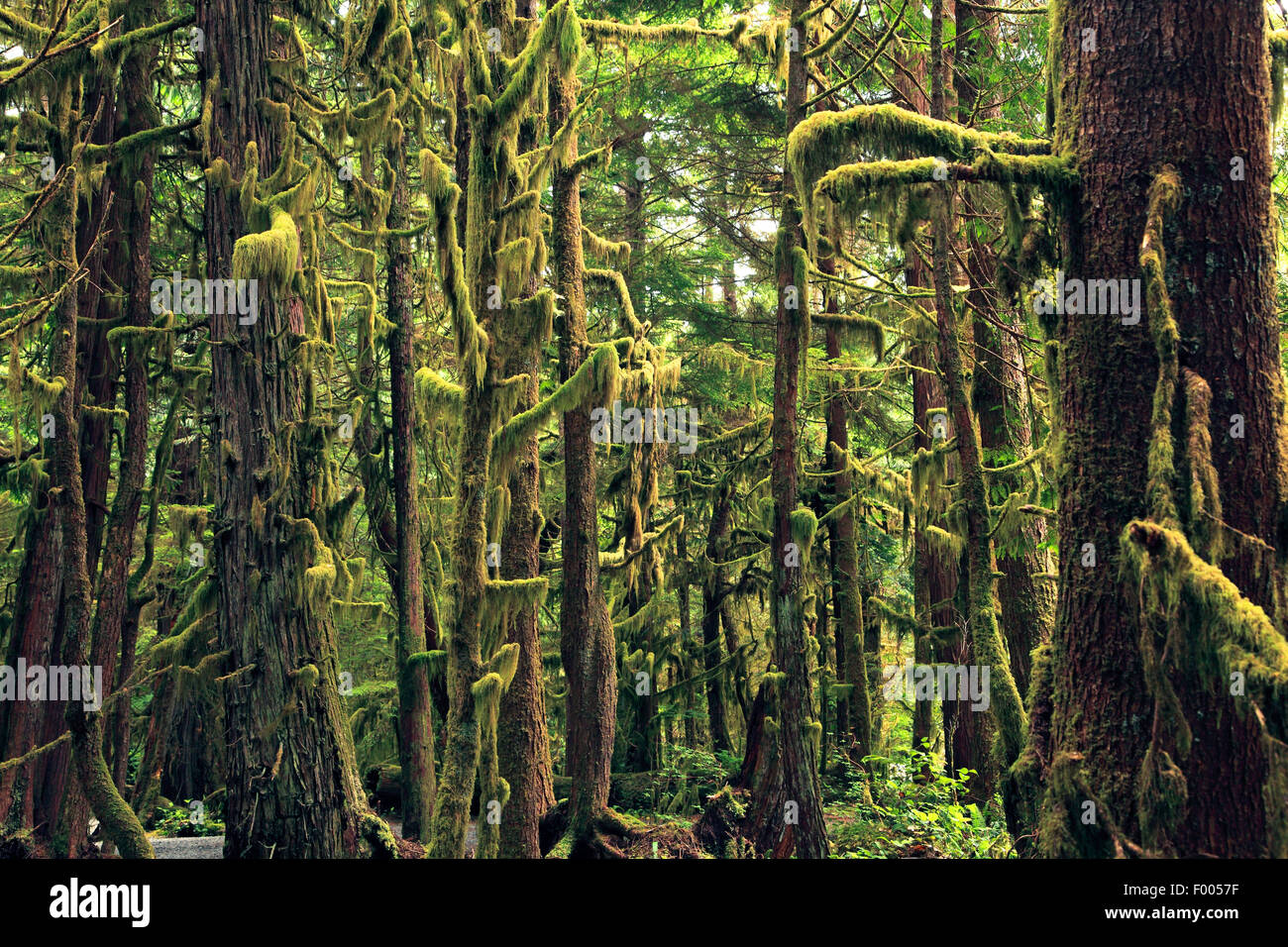 humid temperate rainforest with lichen growth, Canada, Vancouver Island - Stock Image