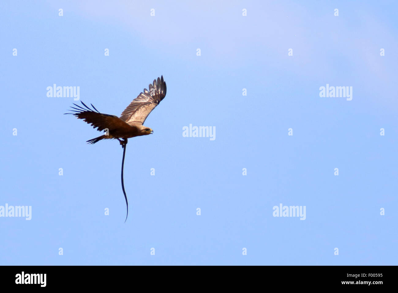 lesser spotted eagle (Aquila pomarina), flying with a snake in the claw, Greece, Lake Kerkini Stock Photo