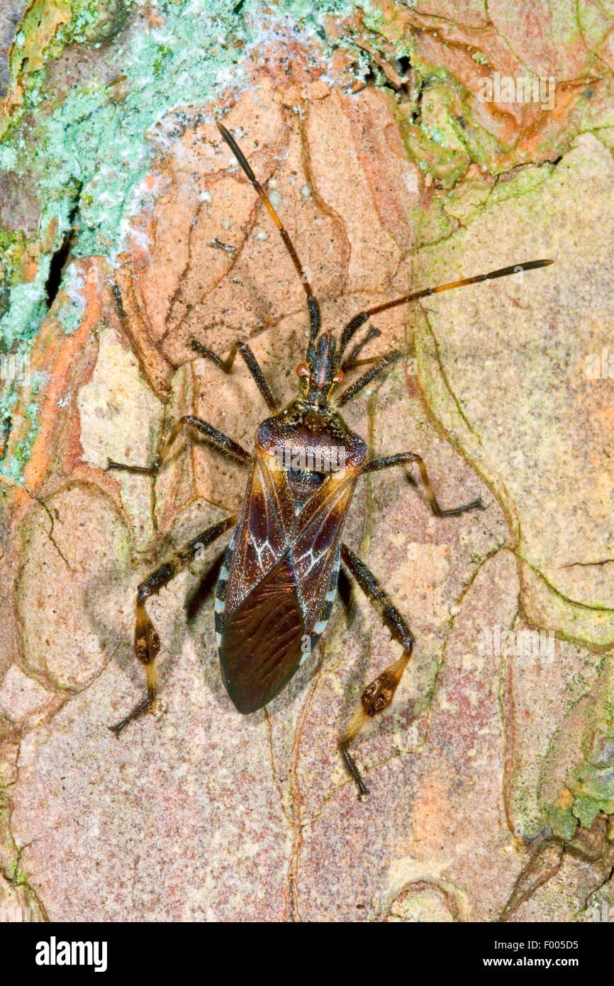Western conifer seed bug (Leptoglossus occidentalis), on bark, deustchla - Stock Image