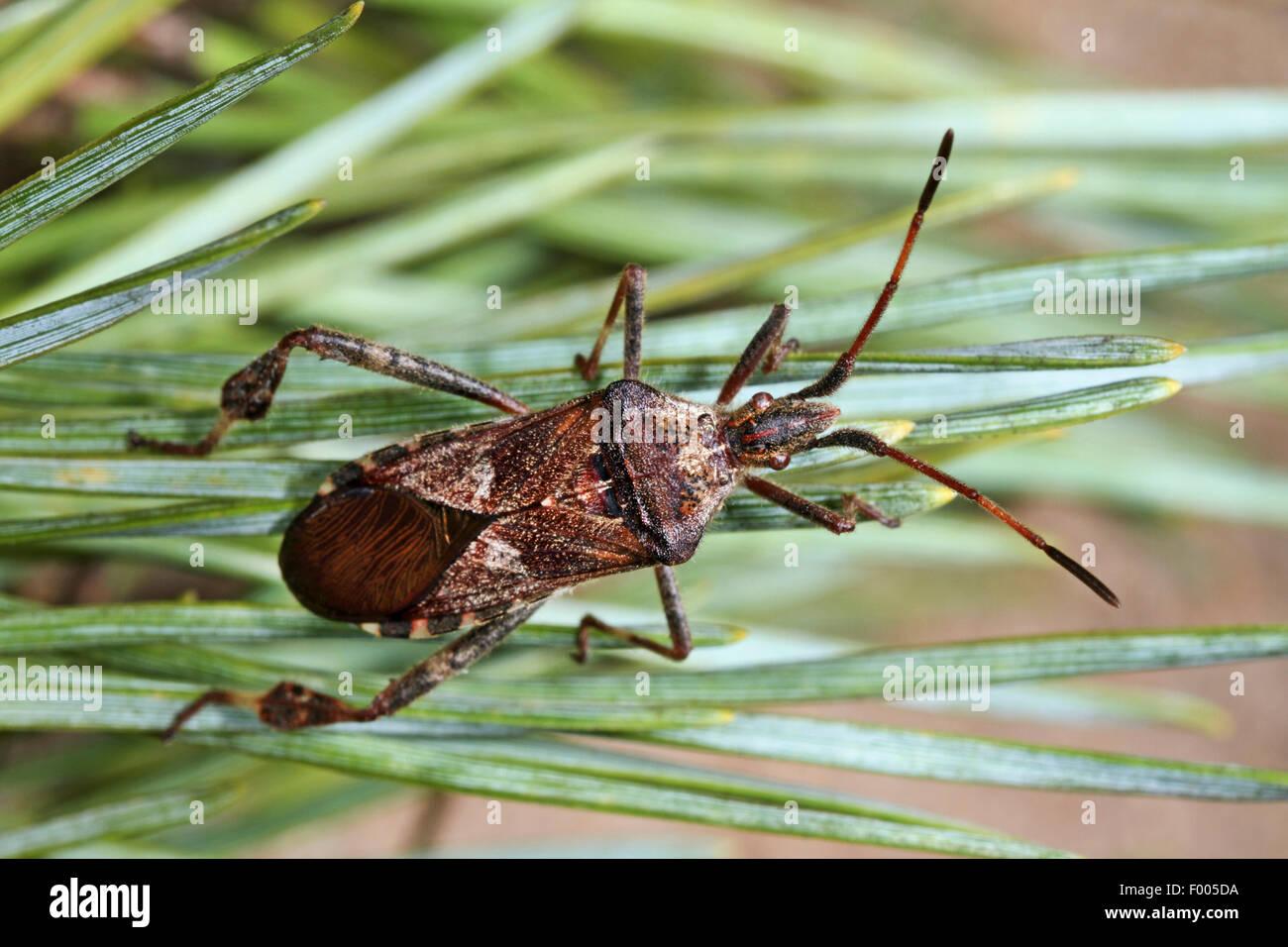 Western conifer seed bug (Leptoglossus occidentalis), on spears, deustchla - Stock Image