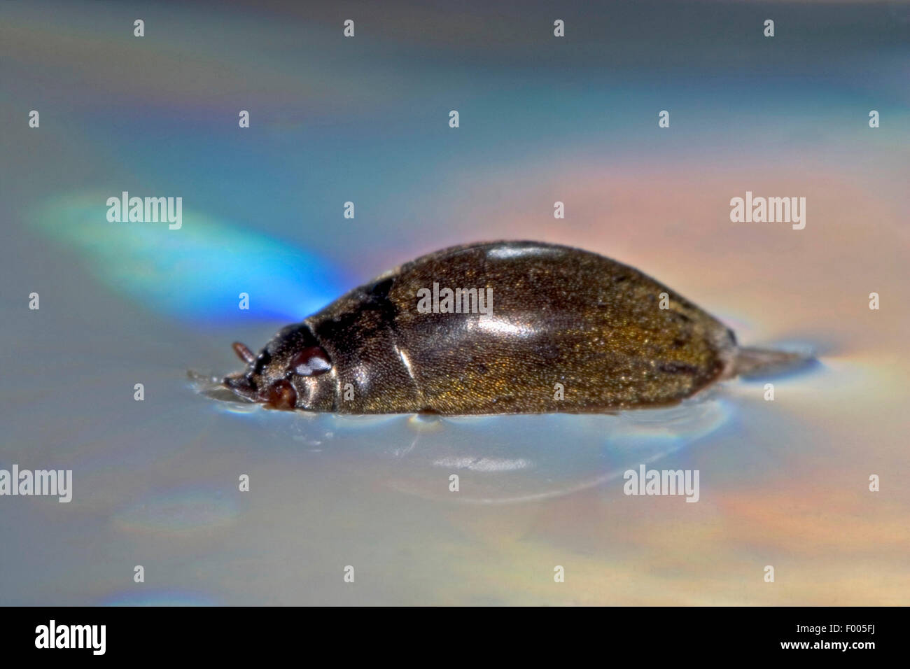 Hairy whirligig, Hairy whirligig beetle (Orectochilus villosus), swims at water surface, Germany - Stock Image