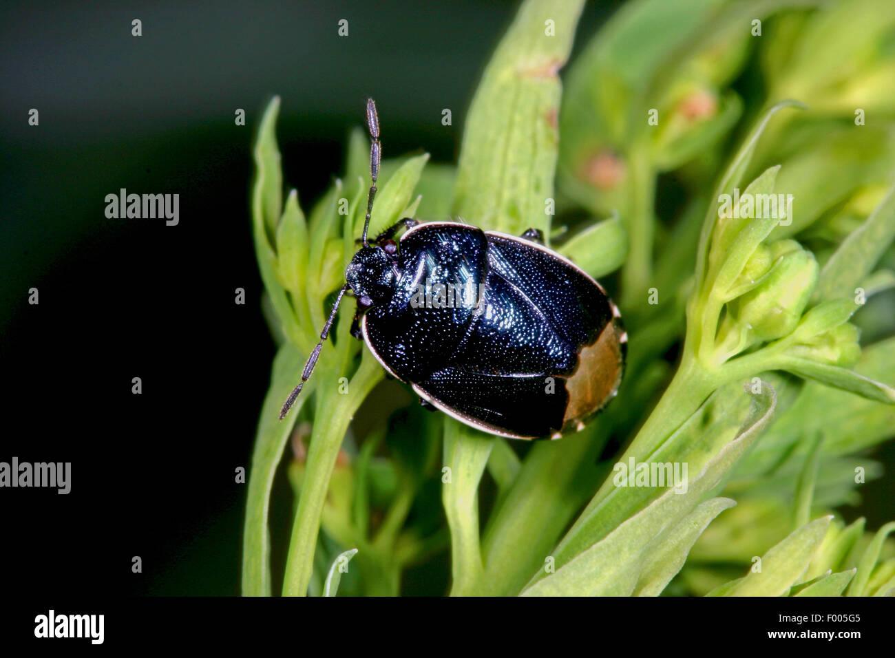 Burrower bug, Cydnid bug, Burrowing bug, Negro bug (Canthophorus dubius), on a plant, Germany - Stock Image