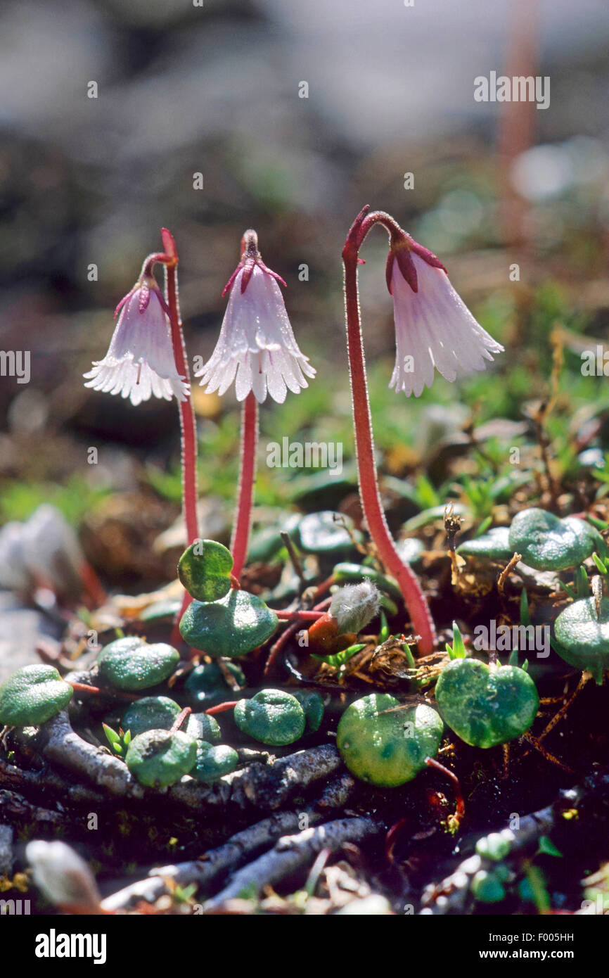 Smallest snowbell (Soldanella minima, Soldanella alpina minima), blooming, Germany - Stock Image