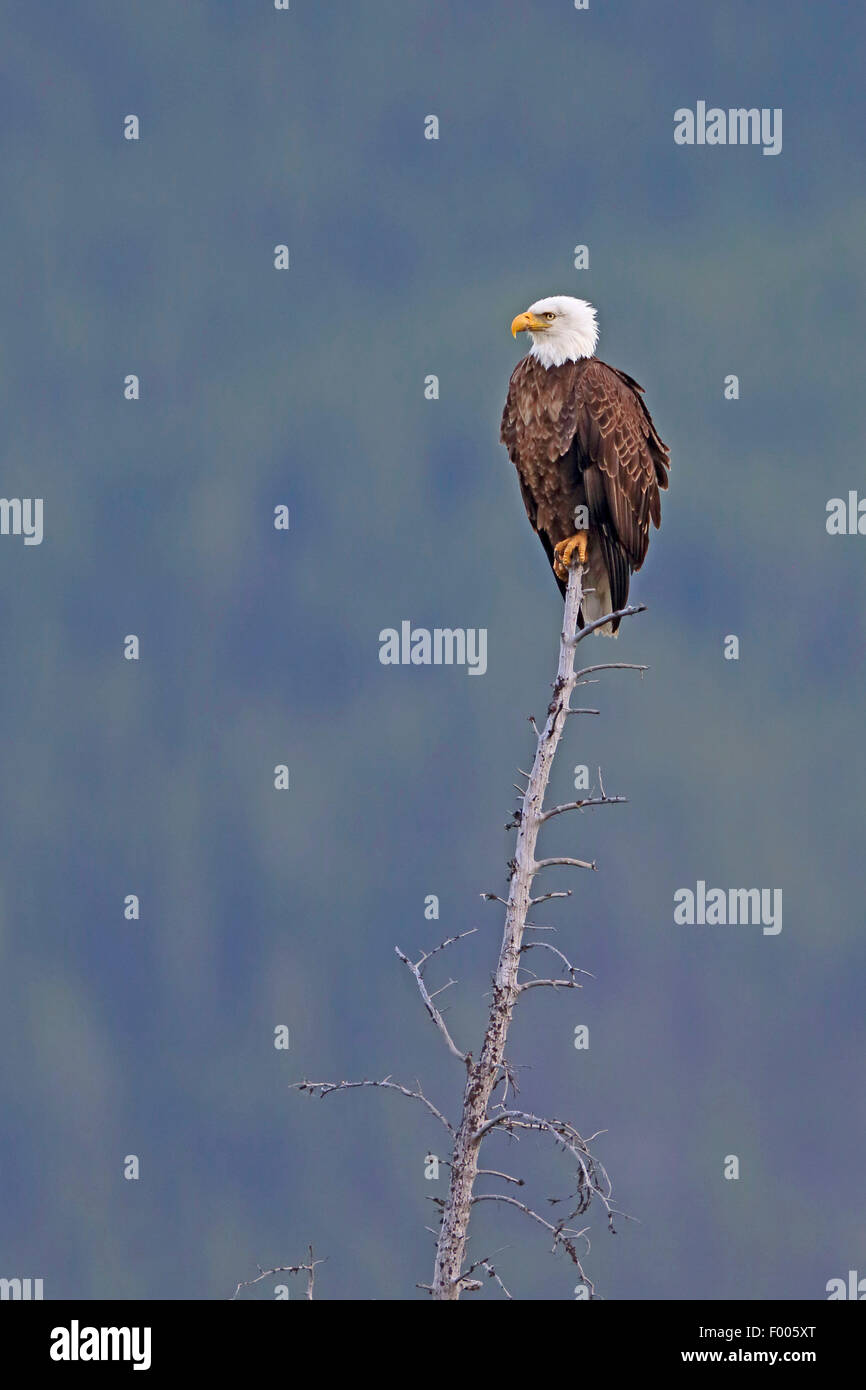 American bald eagle (Haliaeetus leucocephalus), sitting on top of a dead tree, lookout, Canada, Banff National Park Stock Photo