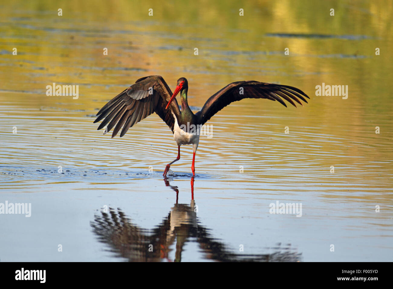 black stork (Ciconia nigra), looks for fishes in shallow water, Greece, Lesbos - Stock Image