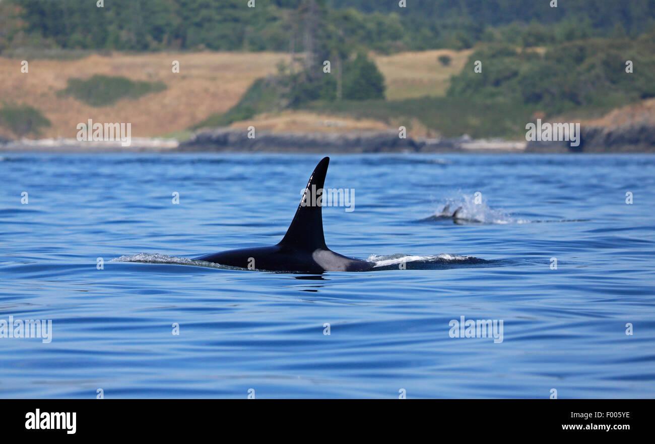 orca, great killer whale, grampus (Orcinus orca), swimming male, Canada, Victoria, Haro Strait - Stock Image