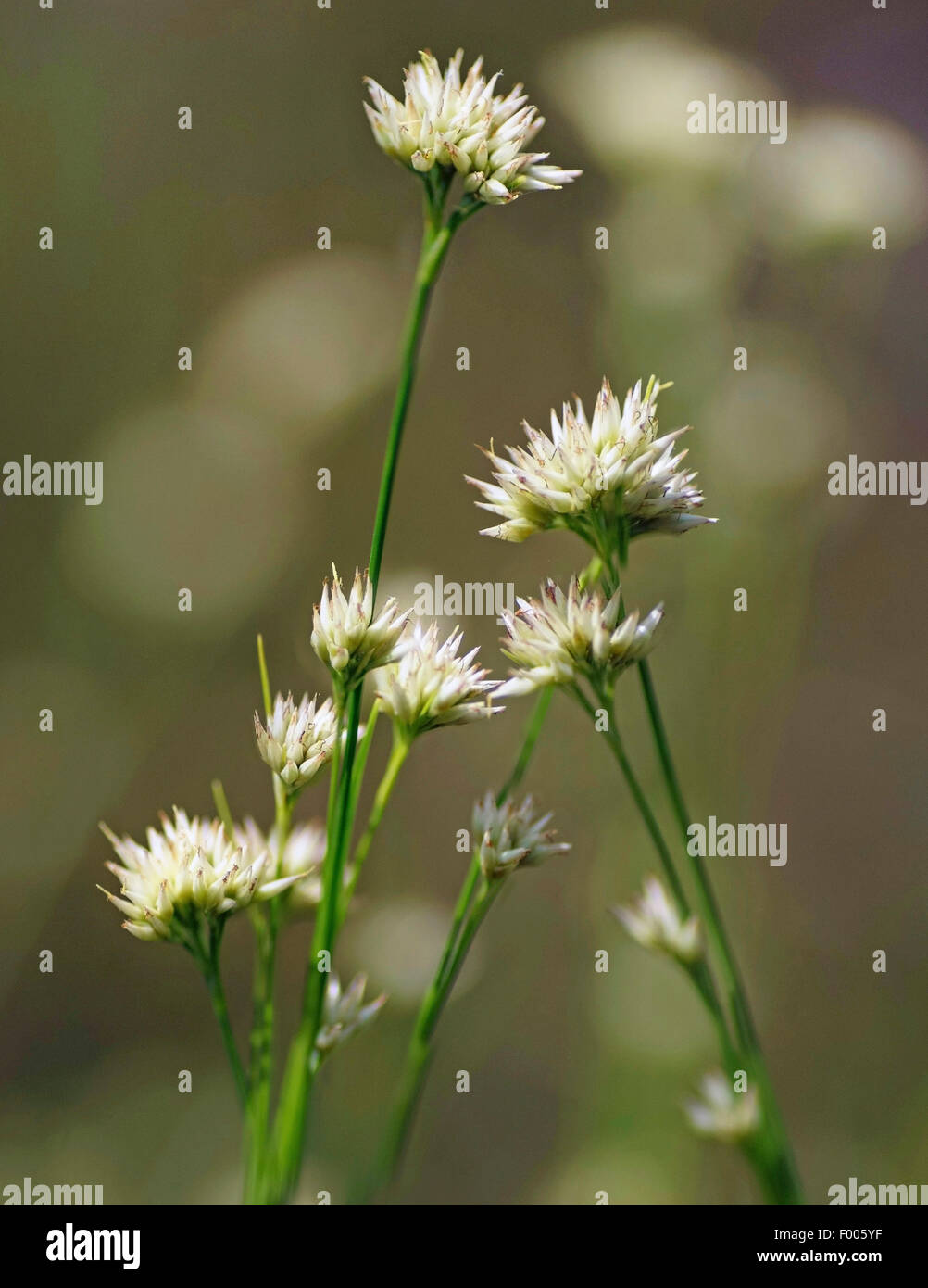 white beak-sedge (Rhynchospora alba), inflorescences, Germany, Bavaria, Oberbayern, Upper Bavaria Stock Photo