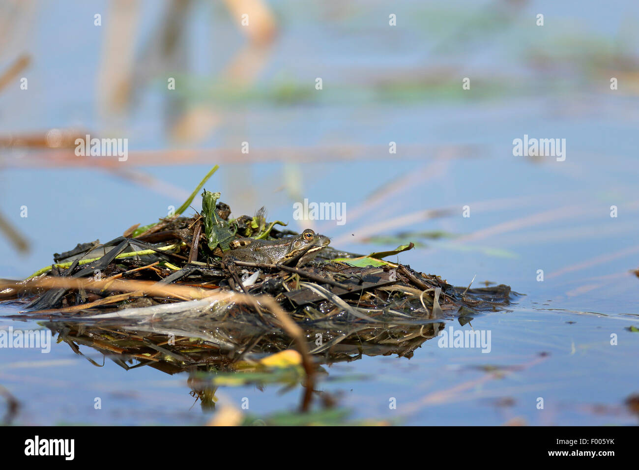 marsh frog, lake frog (Rana ridibunda, Pelophylax ridibundus), sits on the nest of a dabchick, Greece, Lake Kerkini - Stock Image