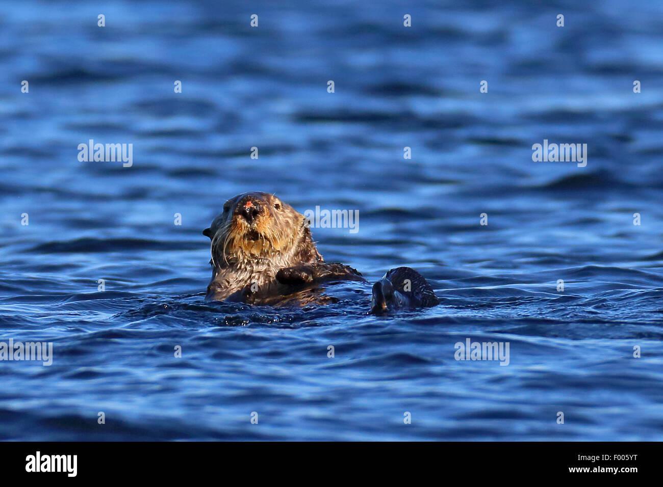 sea otter (Enhydra lutris), swimming, Canada, Vancouver Island - Stock Image