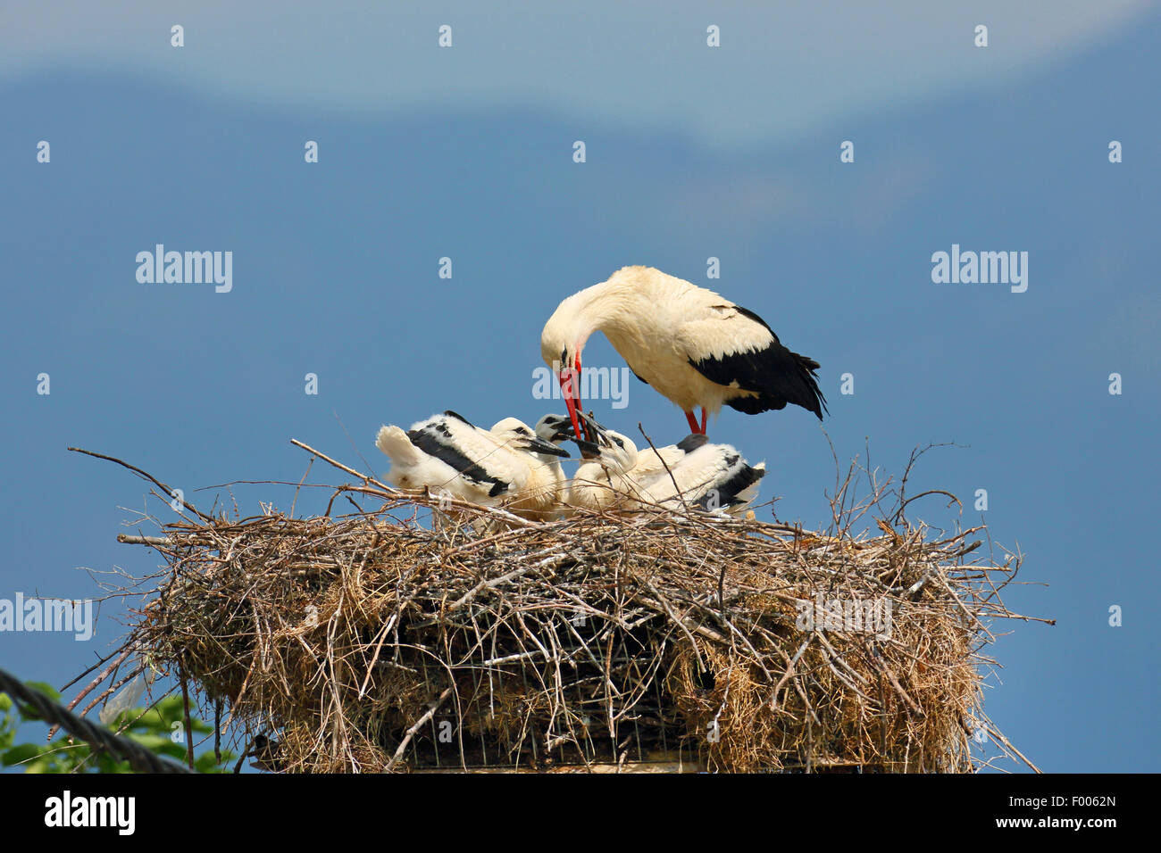 white stork (Ciconia ciconia), adult bird feeding young birds in the nest, Greece, Lake Kerkini Stock Photo