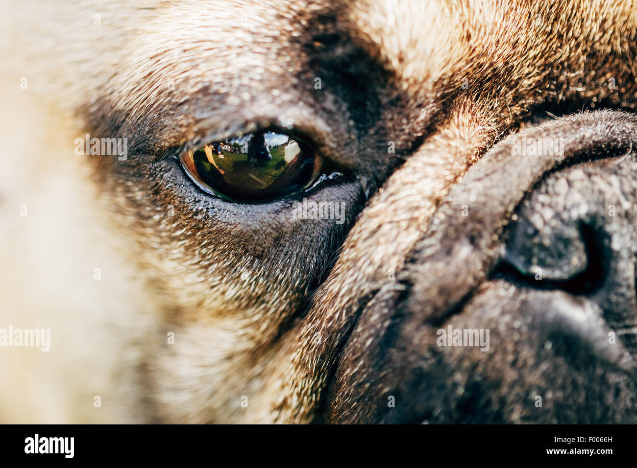 Close Up Eye And Nose Dog French Bulldog - Stock Image