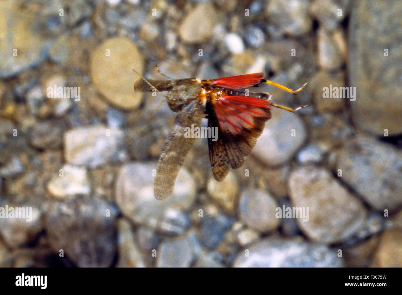 Speckled grasshopper, European Rose-winged Grasshopper  (Bryodema tuberculata, Bryodemella tuberculata), flying - Stock Image