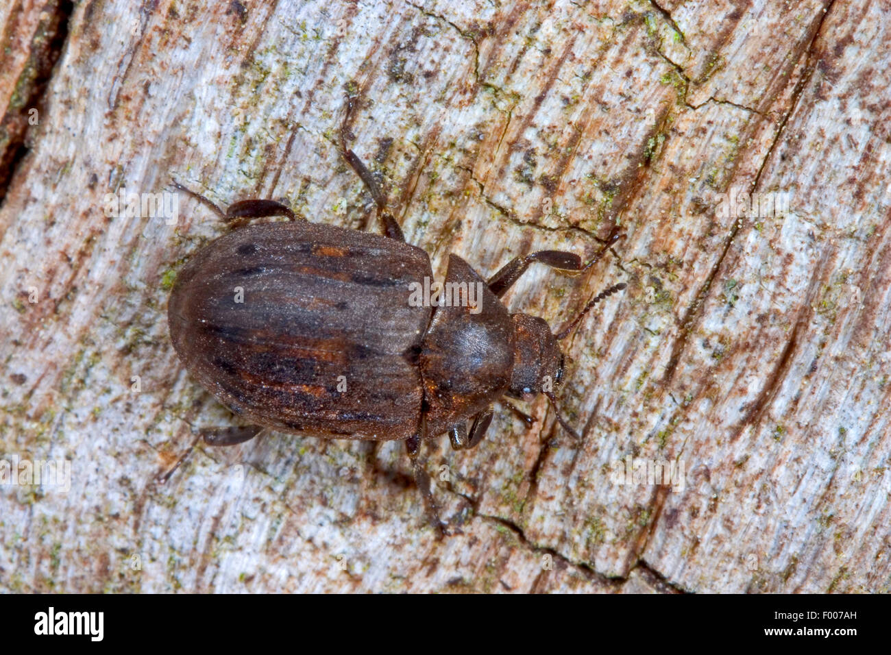 Pill beetle (Byrrhus pilula), sitting on wood, Germany - Stock Image
