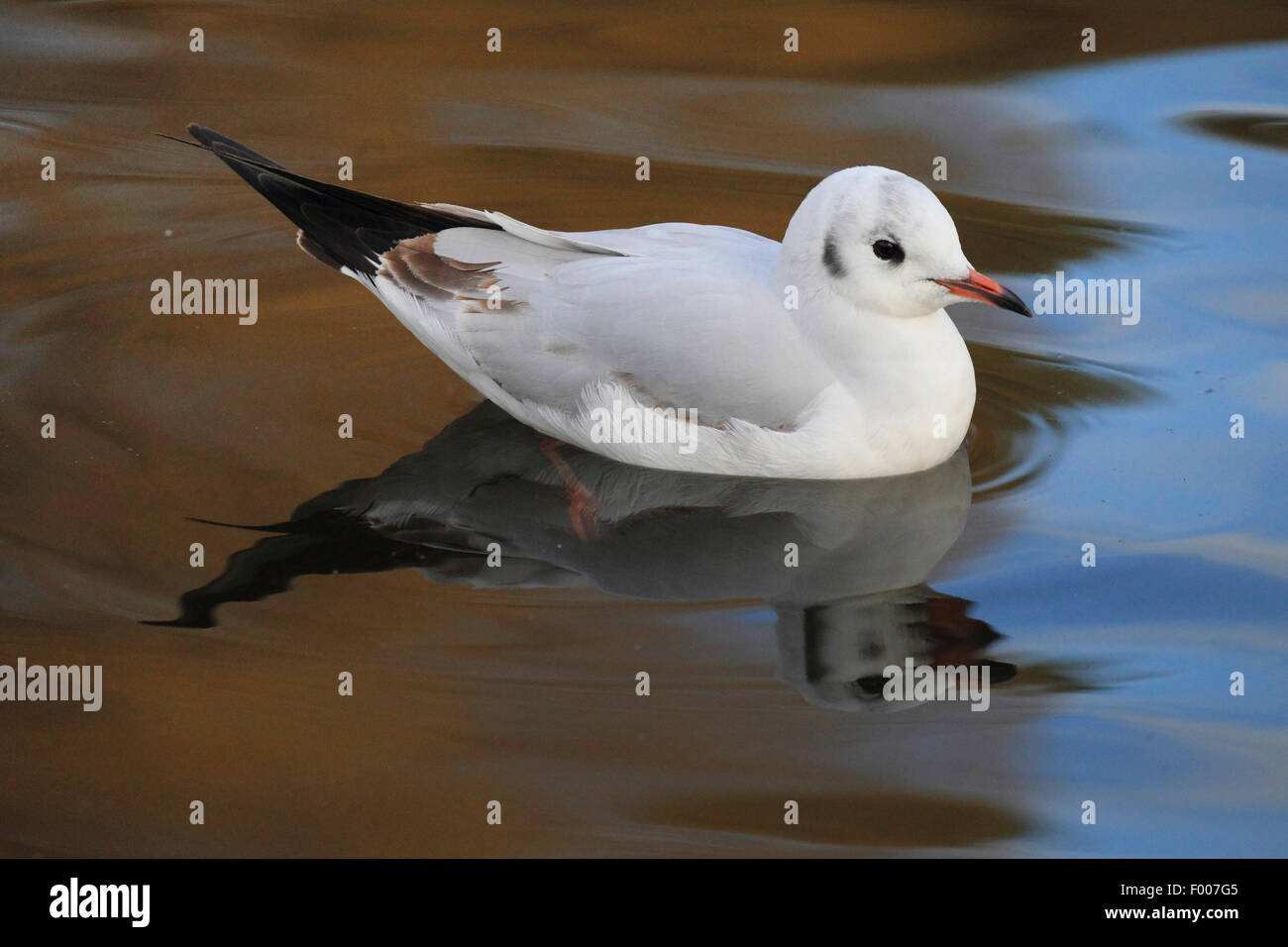 black-headed gull (Larus ridibundus, Chroicocephalus ridibundus), swimming, with mirror image, Germany - Stock Image