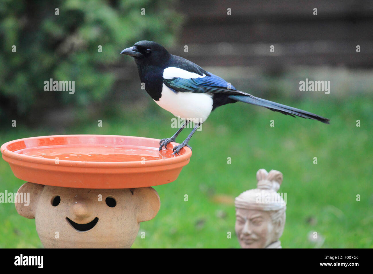 black-billed magpie (Pica pica), sitting on the bird font in the garden, Germany - Stock Image